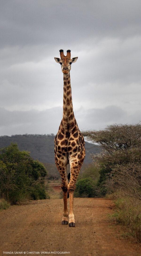 Giraffe coming straight on