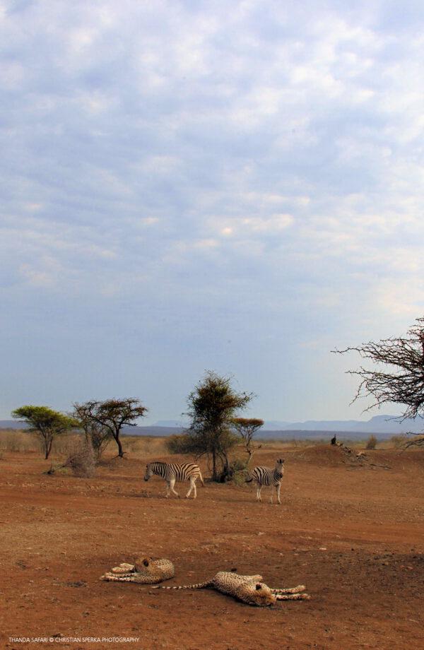 Zebras approaching cheetahs